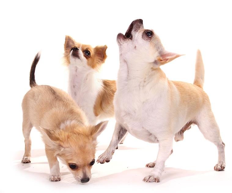 Chihuahua kurzhaar, Chihuahua langhaar