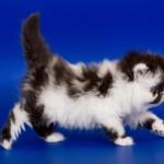 Katzenrasse Exotisch Kurzhaar