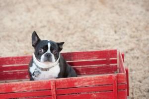 Französische Bulldogge Hundefutter