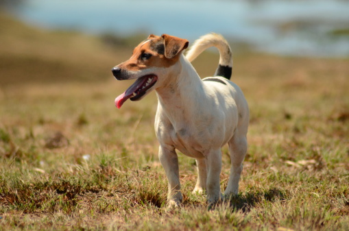 Hunderasse Jack Russel Terrier