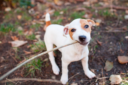 Hunderasse Jack Russell Terrier