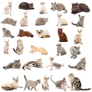 Katzenrassen Übersicht