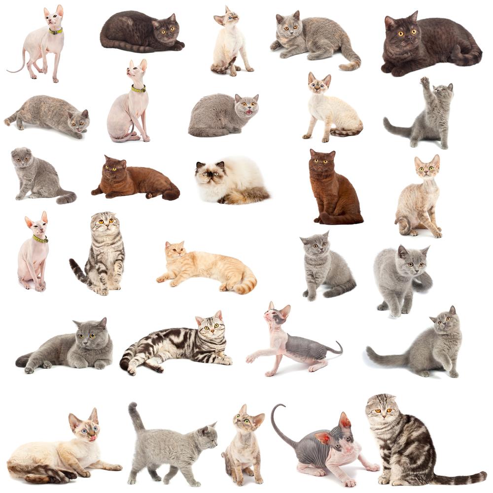 Wie viele Katzenrassen gibt es?
