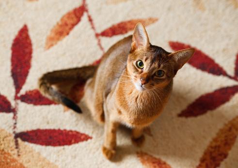 Abessinier Katzenfutter