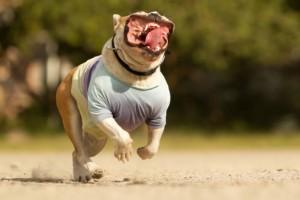 Englische Bulldoge Hundefutter