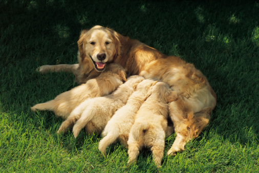 Golden Retriever Bilder