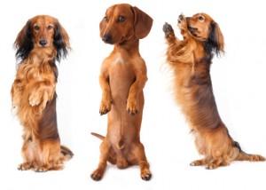Dackel Hundenahrung