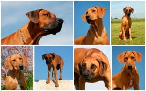 Rhodesian Ridgeback Hundefutter