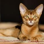 Katzenrasse Abessinier