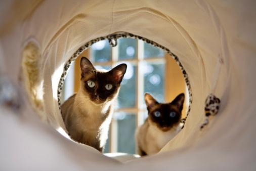 Katzenrasse Tonkanese
