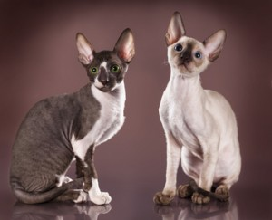 Cornish Rex Futter