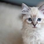Katzenrasse Ragdoll