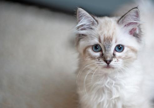Ragdoll Katzenfutter