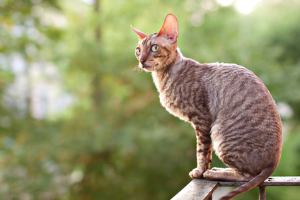 Cornish Rex Bilder