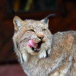American Lynx Katzenfutter