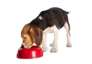 Beagle Krankheiten