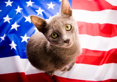 Katzenrasse Amerikanisch Kurzhaar