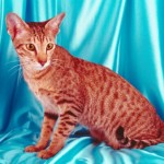 Katzenrasse Orientalisch Kurzhaar