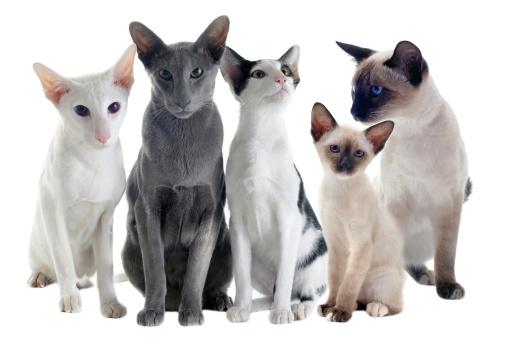 Orientalisch Kurzhaar Katzenfutter