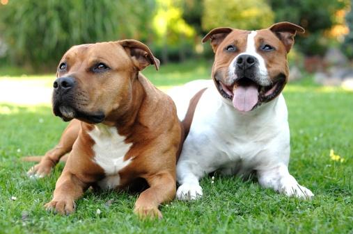Staffordshire Bullterrier Hundefutter