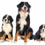 Hunderasse Berner Sennenhund