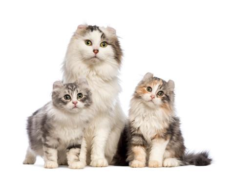 Katzenrasse Amercian Bilder