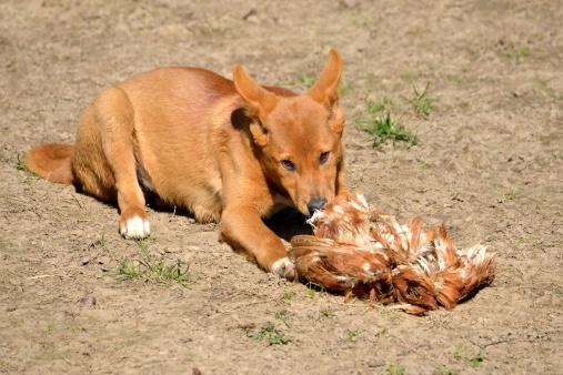Dingo Hundefutter