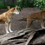 Hunderasse Dingo