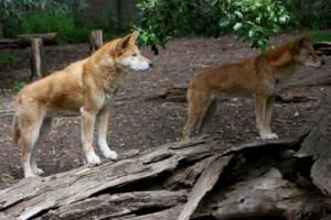 Dingo Futter