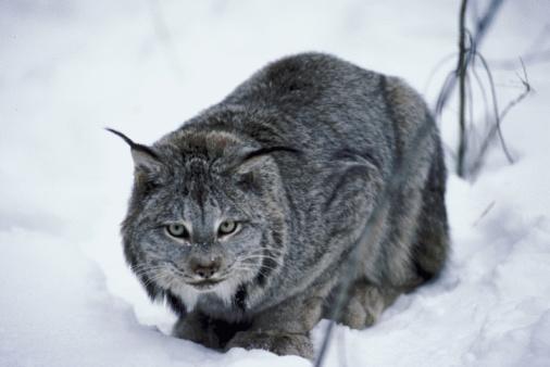 Snow Cat Bilder