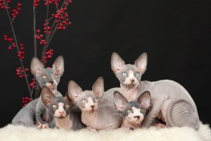Sphynx Katzenfutter