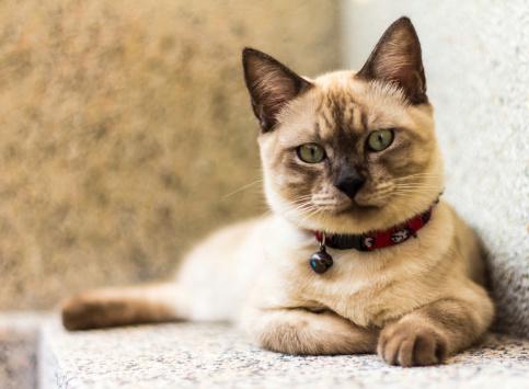 Katzenrasse Thai
