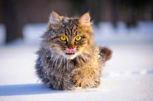 Katzenrasse Snow Cat