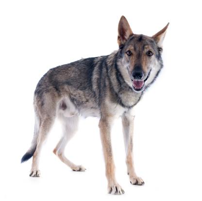 Tschechoslowakischer Wolfshund Bilder
