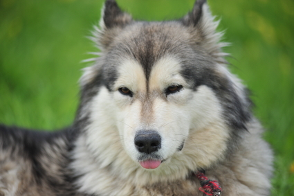 Eskimohund Hundefutter