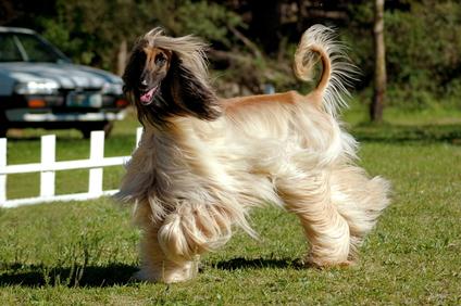 Afghanischer Windhund Bilder