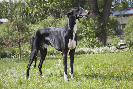 Hunderasse Greyhound