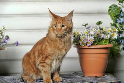 Katzenrasse Amerikanische Luchskatze