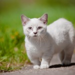 Katzenrasse Munchkin