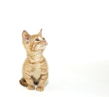 Munchkin Kätzchen
