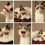 Schneeschuhkatze Katzenfutter
