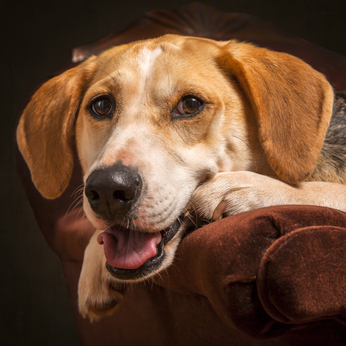 American Foxhound Hundefutter