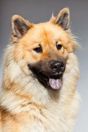 Eurasier Hundefutter