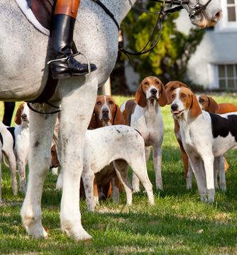 American Foxhound Bilder