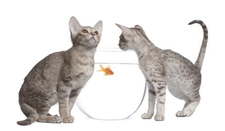 Katzenrasse Ocicat