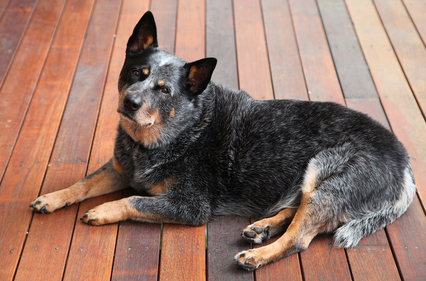 Australian Cattle Dog Bilder
