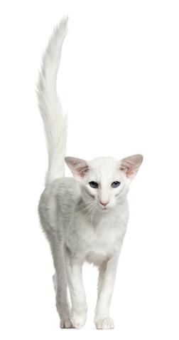 Balinese Katzenfutter