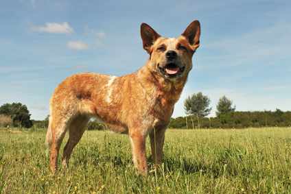 Hunderasse Australian Cattle Dog