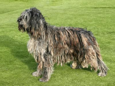 Hunderasse Bergamasker Hirtenhund