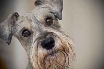Zwergschnauzer Hundefutter